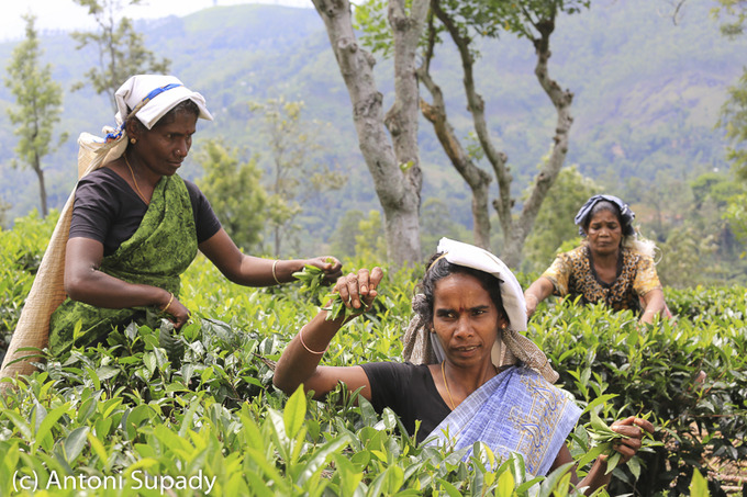 Kobiety zbuieraja herbate na plantacji na Sri Lance