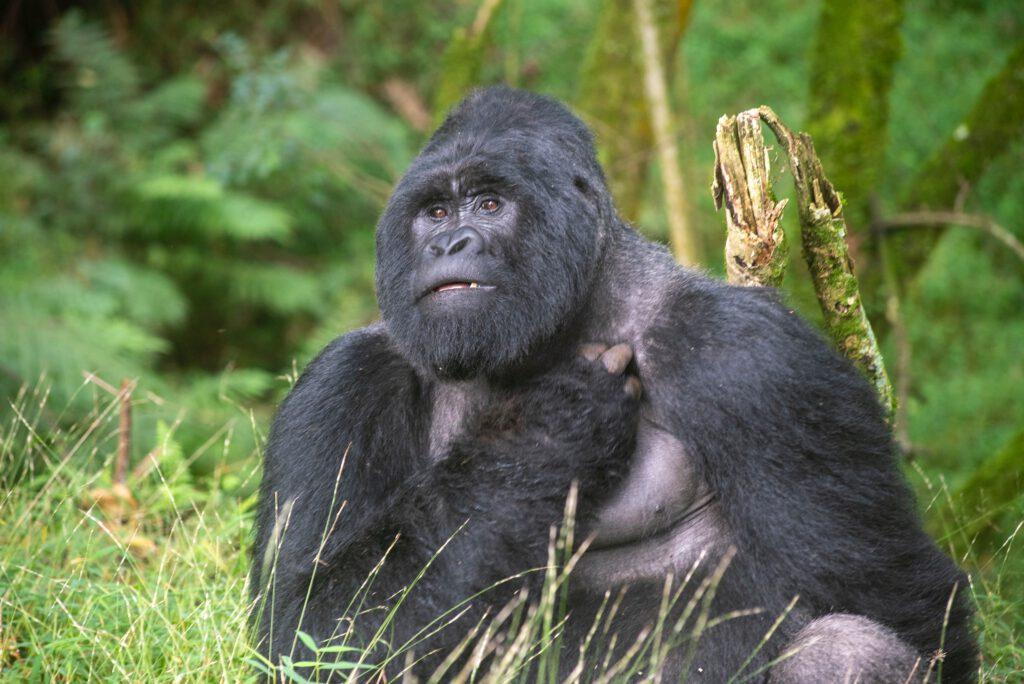 Goryl uganda