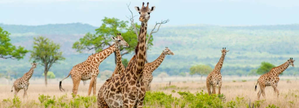 Żyrafy safari Tanzania